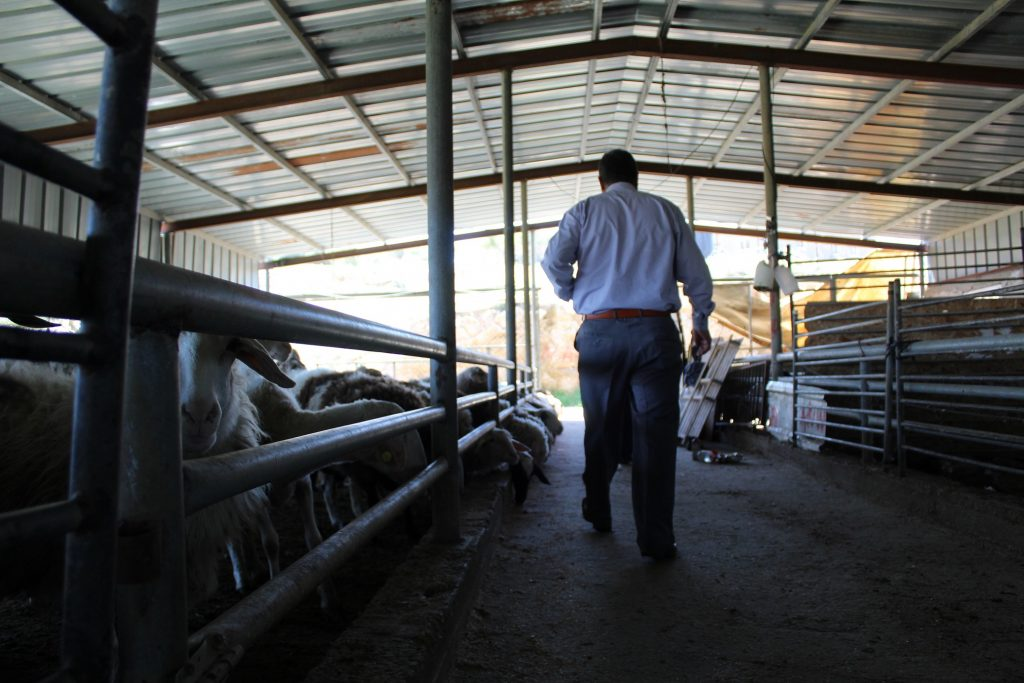 Sheds like Abu Zeyad's are used for intensive breeding, which is not how these Bedouin farmers traditionally raise and breed livestock (MEE/Megan Giovanetti)